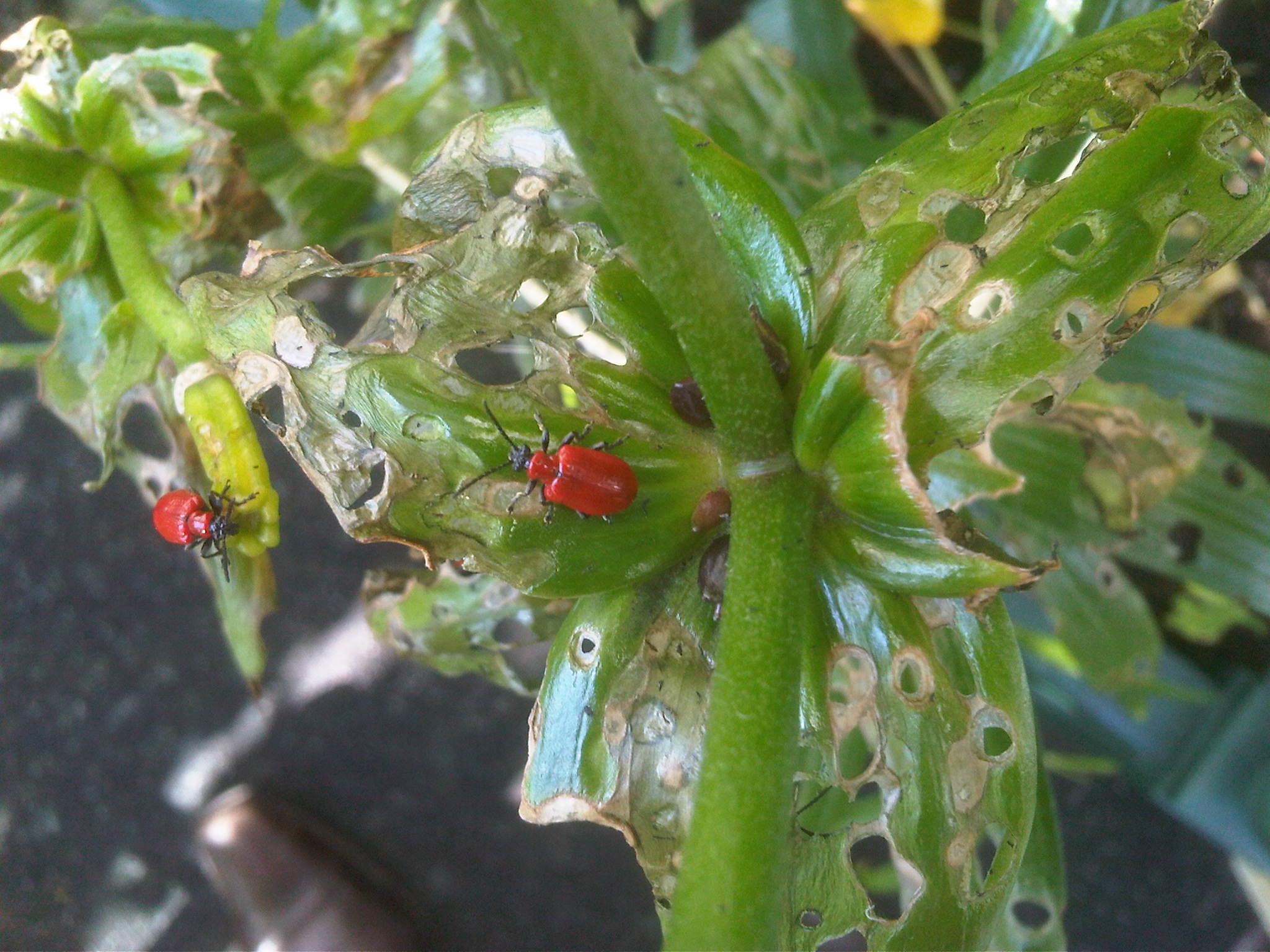 Was fressen feuerkäfer